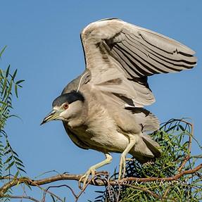 Night Heron Landing in Pepper Tree - D500, 200-500