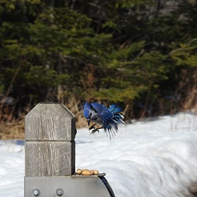 Some success with Blue Jays in flight, but thinking of upgrading to Sony RX10 iv. Anyone use both?