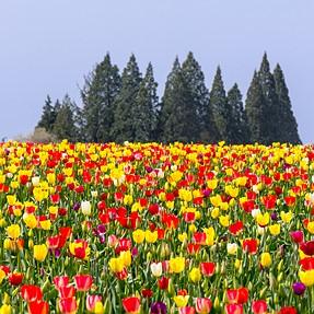 Nikon D7100 at the tulip farm