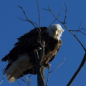 A few Bald Eagle pictures from my local pond/ponds.