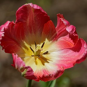 A77mk2 ,Tulips and Azaela,Happy Spring to Members!