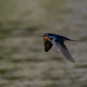 D500, 300MM PF and 1.4X  Chasing Barn Swallows