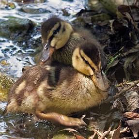 Cuteness Alert: Ducklings