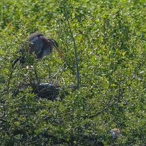 The purple heron