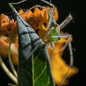 A Green Lynx Spider on Tropical Milkweed