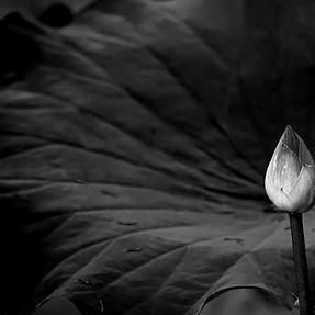 Lotus in Black & White (28 images)