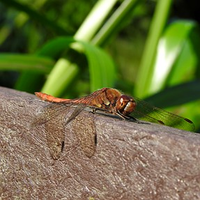 a couple more dragonfly images.