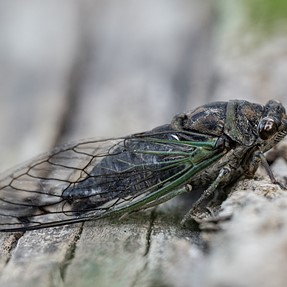 Teal cicada
