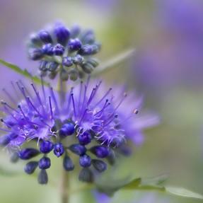 Bluebeard (caryopertis) - going soft
