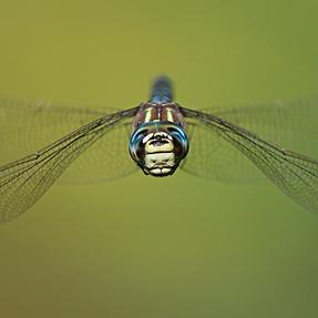 In-Flight Dragonfly: