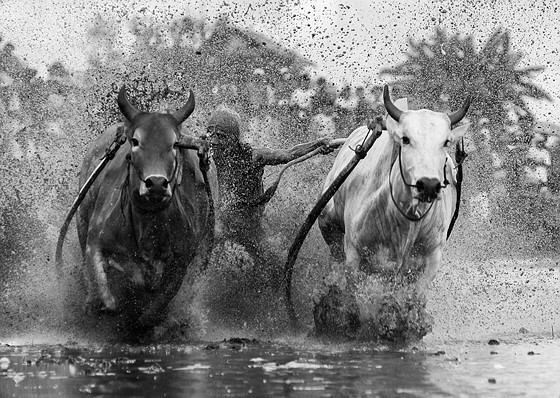 bullracing