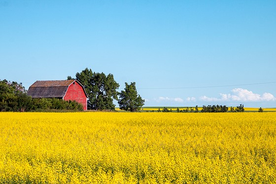 Canola Fields Quotes: Canola Fields (four Photos): Landscape And Travel